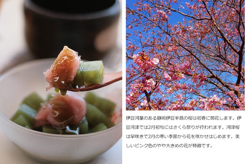 伊豆河童のある静岡伊豆半島の桜は初春に開花します。伊豆河津では2月初旬にはさくら祭りが行われます。河津桜は早咲きで2月の寒い季節から花を咲かせはじめます。美しいピンク色のやや大きめの花が特徴です。