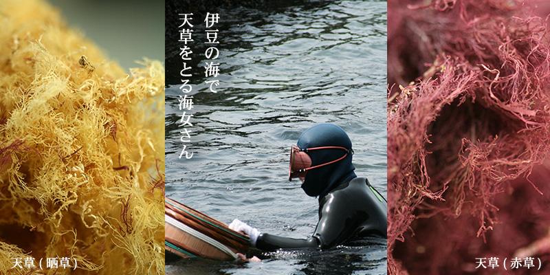 伊豆の海で天草をとる海女さん